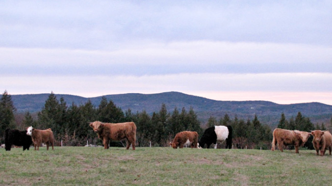 grass-fed beef stading in pasture
